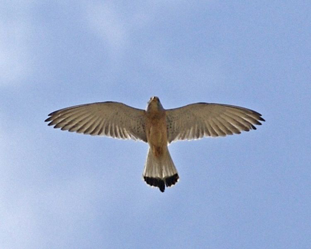 Lesser Kestrel-Falco naumanni