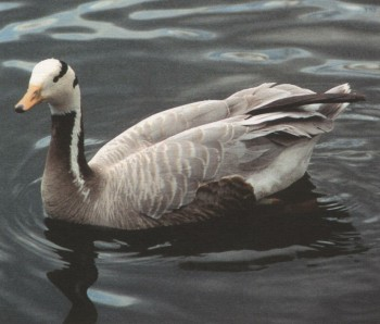 Mountain Goose-Anser indicus_