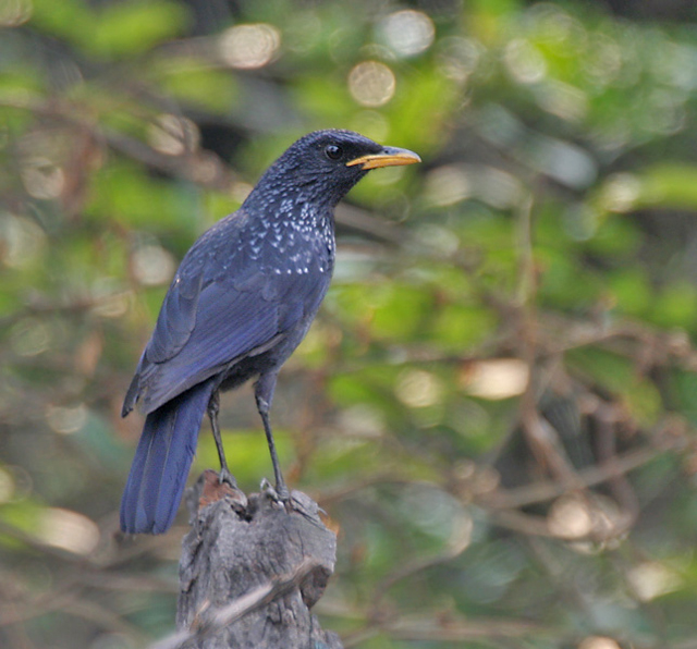 Blue Whistling Thrush-Myophonus caeruleus