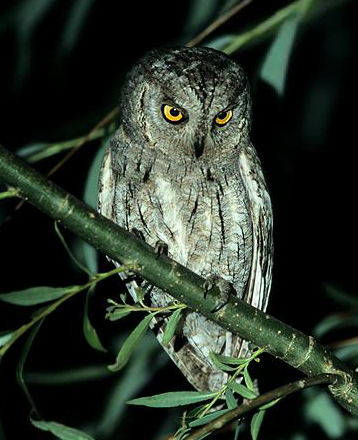 Eurasian Scops Owl-Otus scops