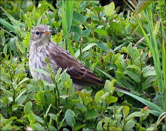 Water Pipit-Anthus spinoletta