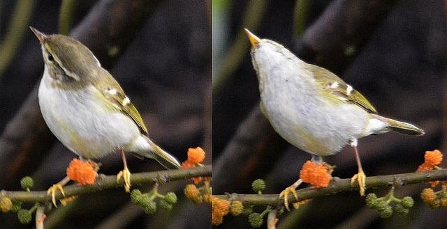 Yellow-browed Warbler-Phylloscopus inornatus
