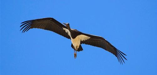 Black Stork-Ciconia nigra