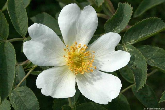 Rosa laxa