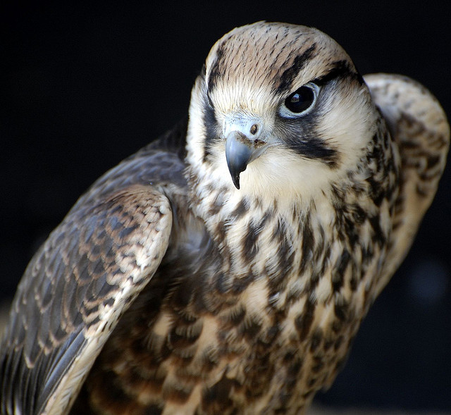 Saker Falcon-Falco cherrug