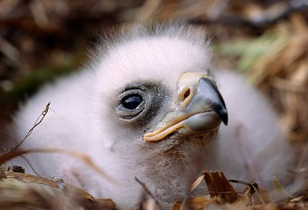 Golden Eagle-Aquila chrysaetos chick in the nest
