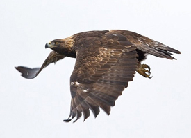 Golden Eagle-Aquila chrysaetos