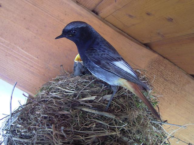 Black Redstart-Phoenicur sochruros