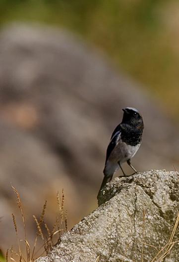 Blue-capped Redstart-Phoenicurus coeruleocephalus