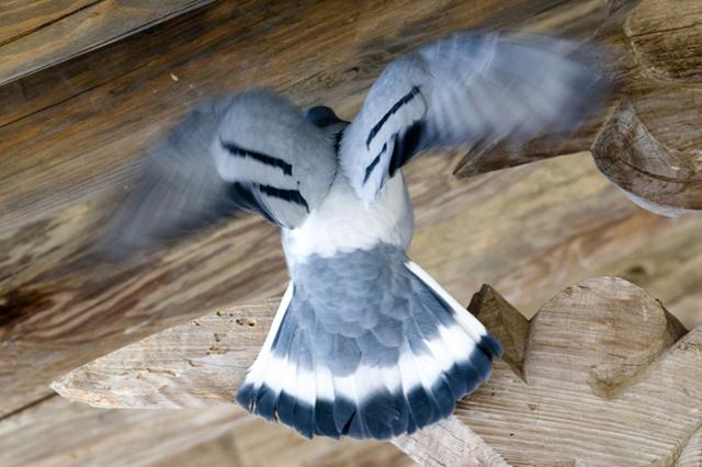 Hill Pigeon-Columba rupestris